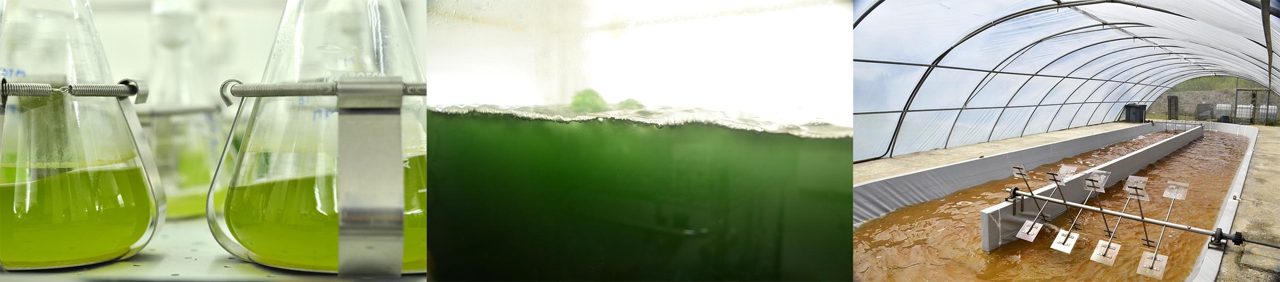 Se ven las microalgas en recipientes y tanques.