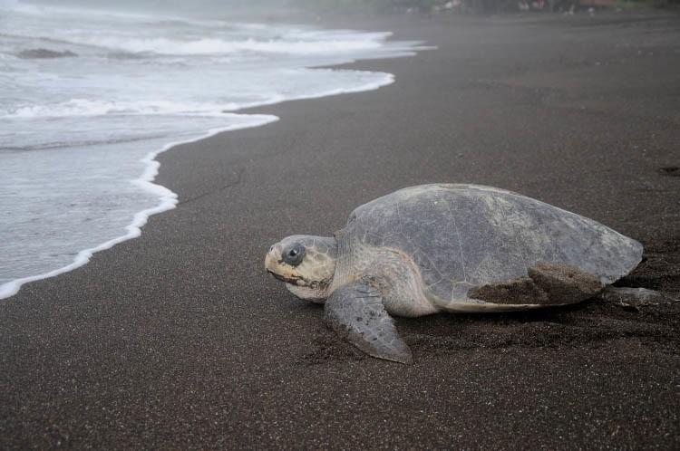 Tortuga marina caminando en una playa.