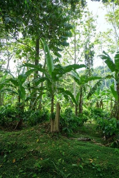 Plantación en Talamanca.