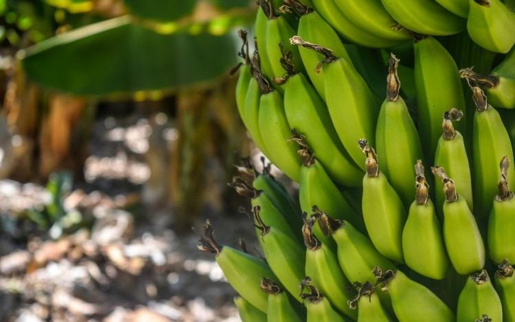 mata de banano