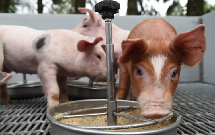 imagen de cerdos