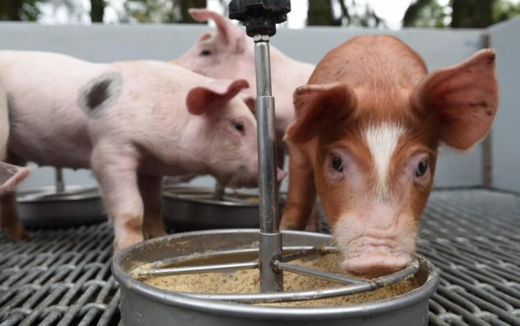 Cerdos comiendo.