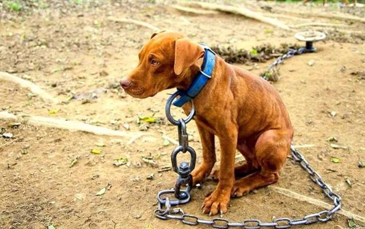 perro encadenado