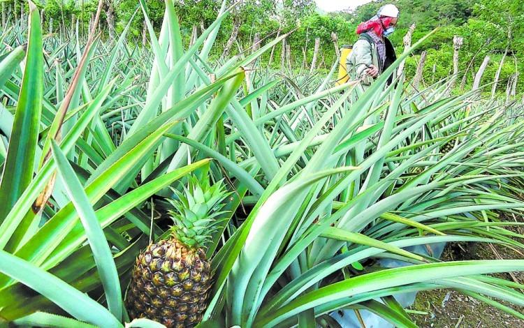 Imagen de un cultivo de piña.