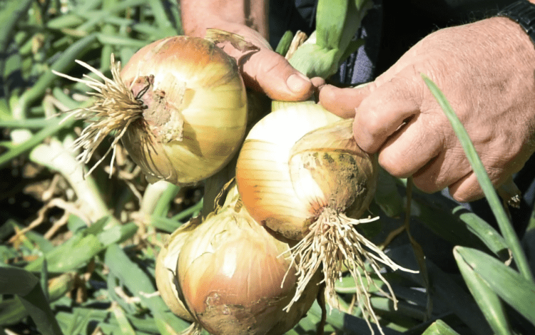 Imagen de unas cebollas en las manos de un agricultor.