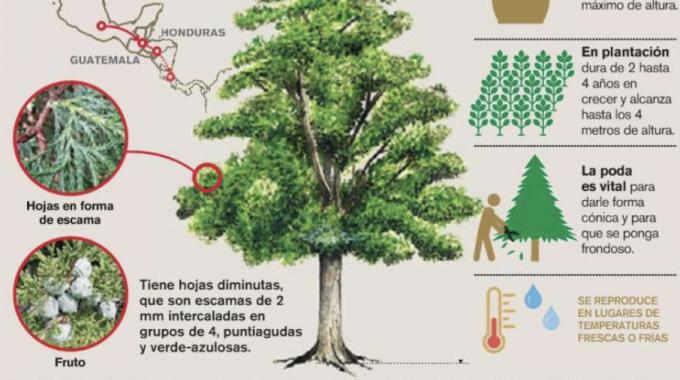 Imagen de un árbol de ciprés utilizado en las casas para la navidad.
