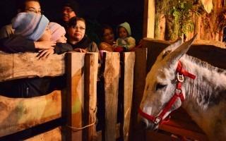 Los animales vivos presentes en el pesebre fueron cuidadosamente admirados por los niños y sus padres.