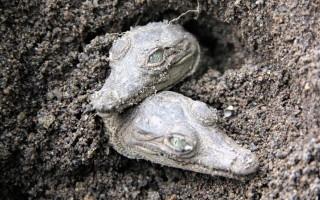Dos cocodrilos recién nacidos (neonatos). (Foto cortesía Olivier Castro)