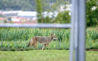 Un coyote caminando por el campo.