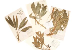 Imágenes de pliegos de herbario