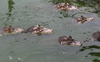 cocodrilos_en_lago_