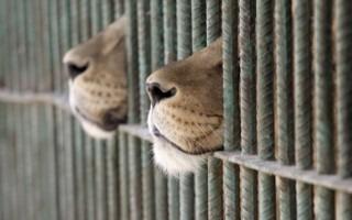 leones en jaula
