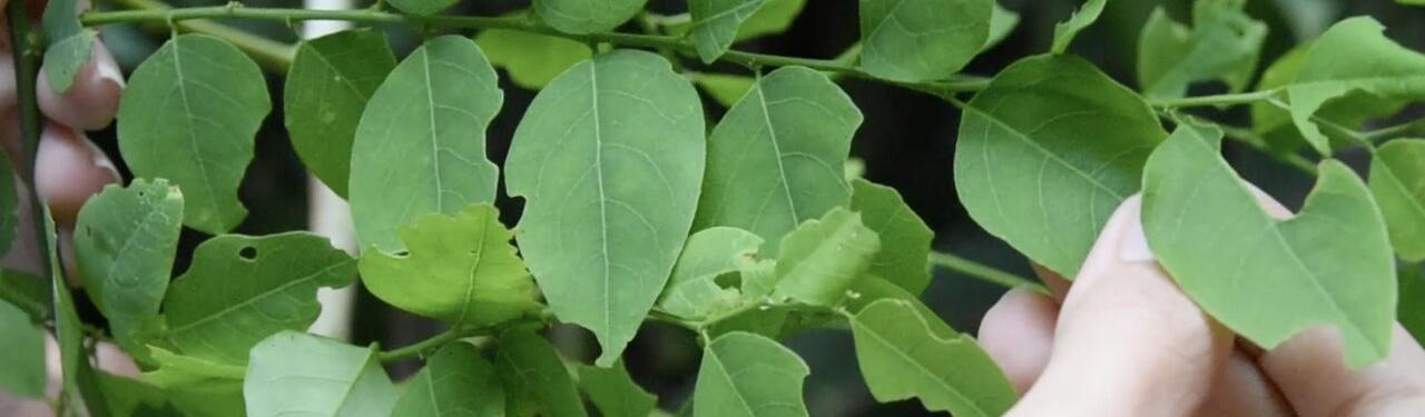 hojas de planta