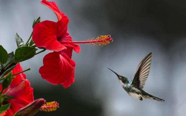 colibri_volando_cerca_de_flor_