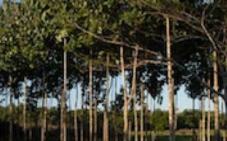 Plantación forestal